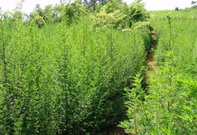 Planta care vindeca cancerul in 16 ore