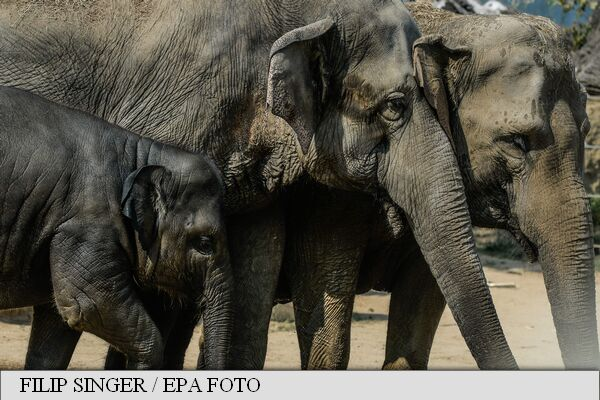 """Cercetătorii americani au descoperit că elefanții """"înșală"""" cancerul (studiu)"""