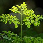3 plăntuțe de 15-25 cm din copaci Moringa Oleifera SUPERALIMENT!
