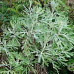 Puterea Pelinului Dulce (Artemisia annua) pentru tratamentul cancerului