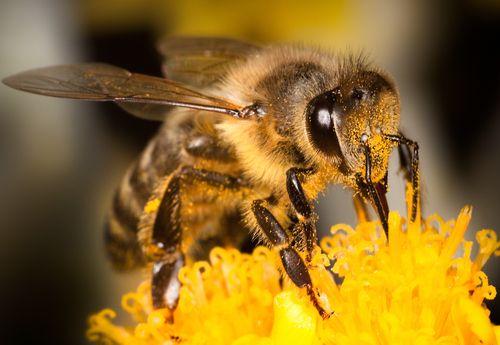 Descoperire neașteptată: veninul albinelor poate distruge celulele celei mai agresive forme de cancer de sân