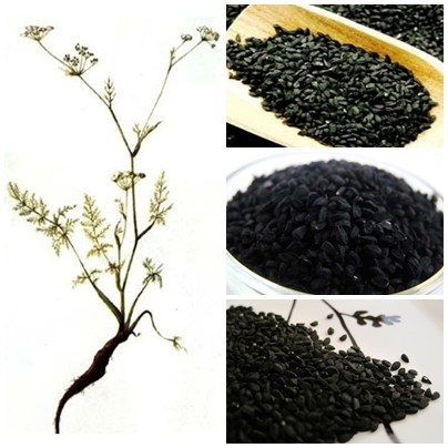 Chimenul negru: Menționată în Biblie și în Coran, această plantă poate vindeca orice boală