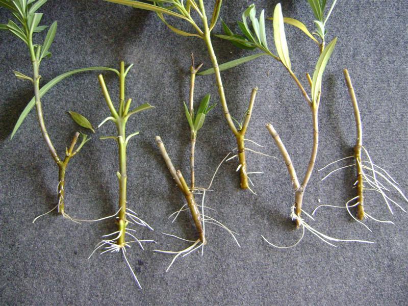 Leandrul, această plantă MIRACULOASĂ poate vindeca CANCERUL