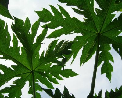 Ceai din frunze de Papaya pentru detoxifiere si tratament antitumoral
